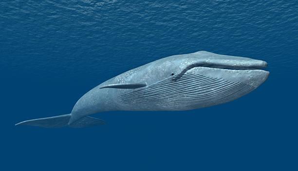 Blue Whale Images