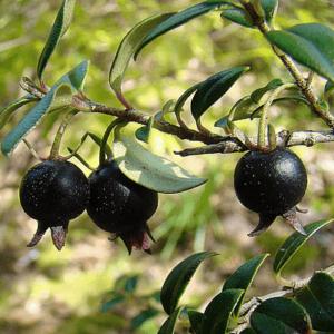 Black Guava is called as kala Badshah